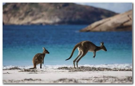 Image Ecosystem Ecoregion Sydney Red Kangaroo Wildlife