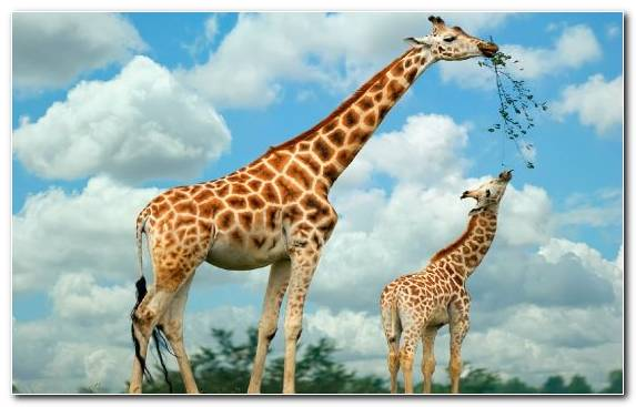 Image Ecosystem Giraffe Terrestrial Animal Infant Mother