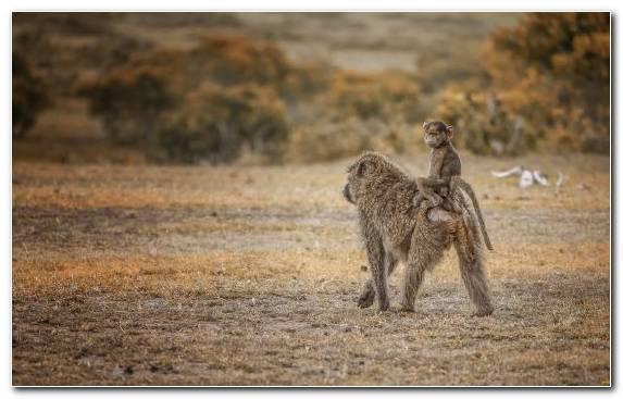 Image Ecosystem Grassland Wildlife Safari Ape