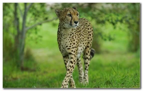 Image Ecosystem Lion Grazing Desert Wildlife