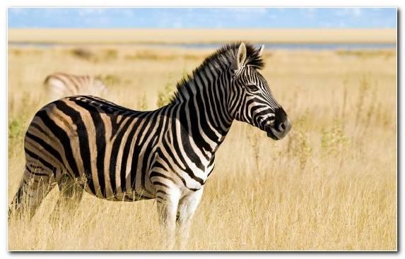 Image Ecosystem Mane Zebra Grazing Zoo