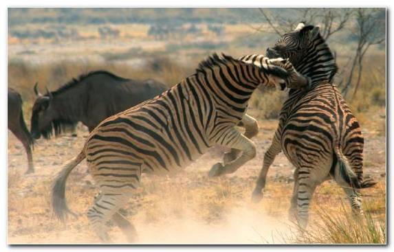 Image Ecosystem Quagga Zebra Grassland Terrestrial Animal