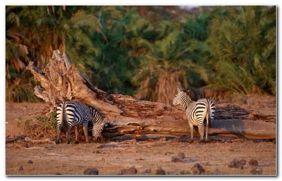 Image Ecosystem Shrubland Savanna Horses Wilderness