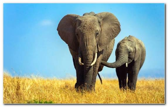 Image ecosystem tusk terrestrial animal elephants and mammoths savanna