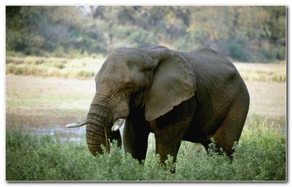 Image Ecosystem Tusk Wilderness Asian Elephant African Elephant