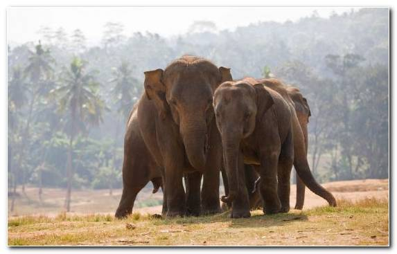 Image Ecosystem Wildlife Terrestrial Animal Indian Elephant Desert