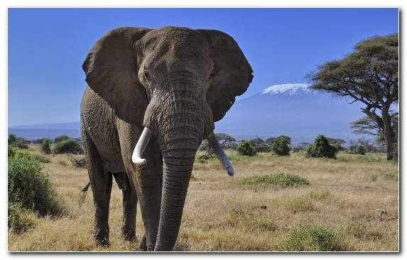 Image elephant african elephant grassland elephants and mammoths wildlife