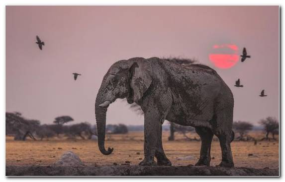 Image Elephant Bird African Bush Elephant Elephants And Mammoths Sunset