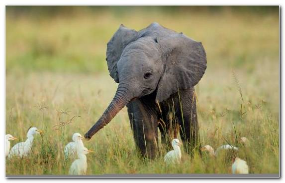 Image Elephant Grazing Wildlife Indian Elephant Animal