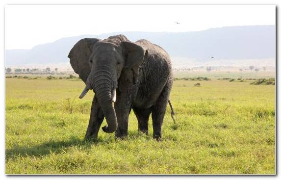 Image Elephant Safari Grazing Animal Africa