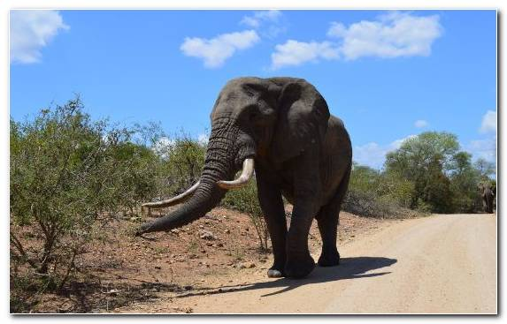 Image Elephant Tusk Tarangire National Park African Elephant Indian Elephant
