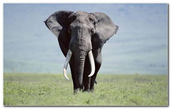 Image Elephants And Mammoths Ecosystem Wildlife Indian Elephant Grazing