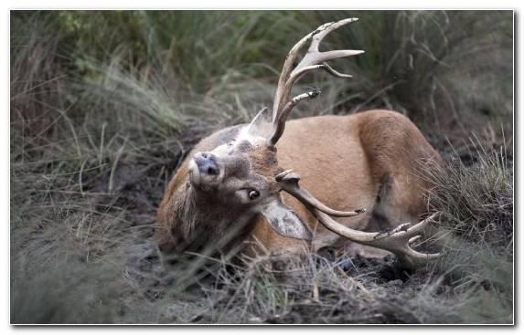 Image Elk Terrestrial Animal Deer Antelope Hunting