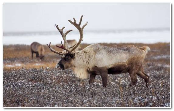 Image Elk Tundra Horn Ded Moroz Rudolph