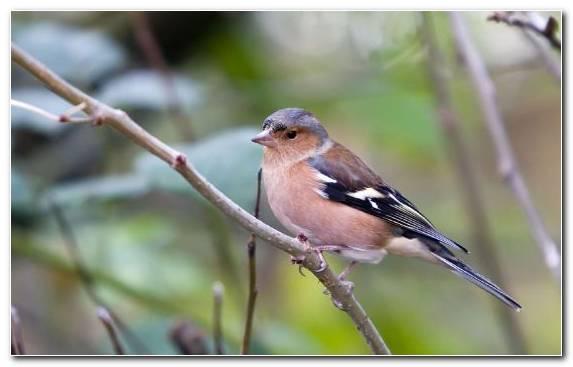 Image Emberizidae Bird Twig Parrot Brambling
