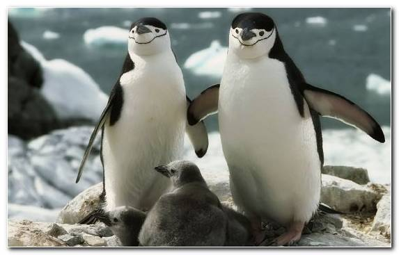 Image Emperor Penguin Flightless Bird Beak Fauna Bird