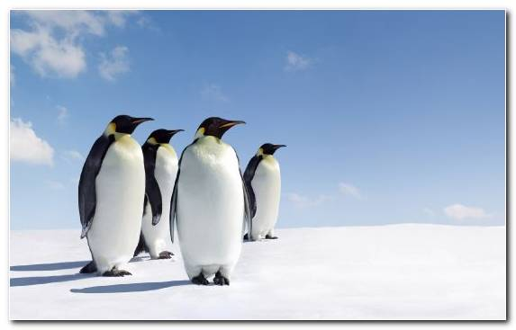 Image Emperor Penguin King Penguin Adelie Penguin Flightless Bird Bird