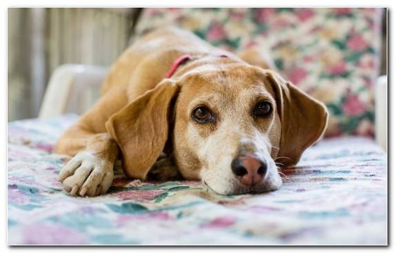 Image English Foxhound Dog Paws Beagle Puppy