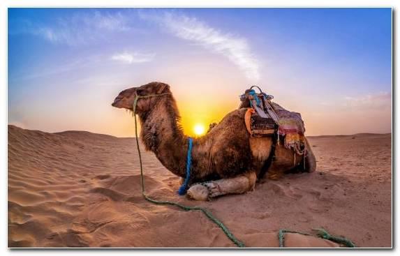 Image Erg Camel Sand Aeolian Landform Sky