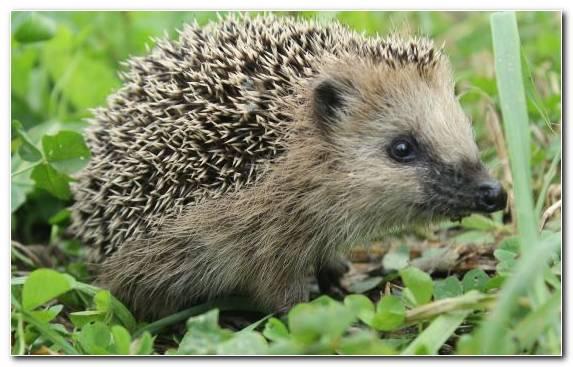Image Erinaceidae Snout Porcupine Terrestrial Animal Wildlife