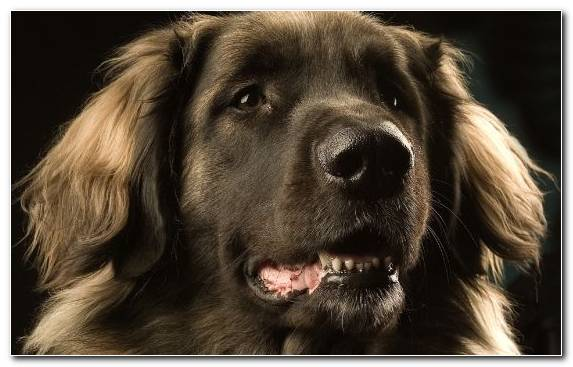 Image Estrela Mountain Dog Newfoundland Love Dog Grooming Snout