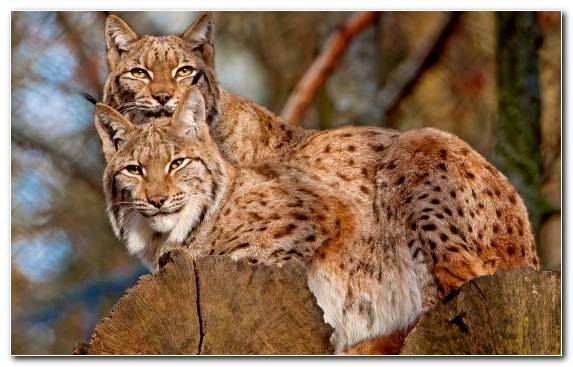 Image Eurasian Lynx Fauna Big Cat Wildlife Wilderness