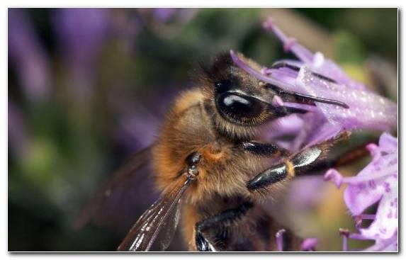 Image European Dark Bee Macro Photography Pollinator Insect Bumblebee
