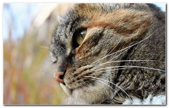 Image european shorthair fauna mammal small to medium sized cats wildcat