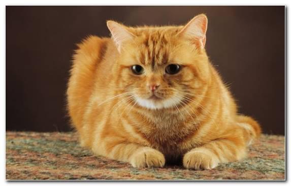 Image European Shorthair Felidae Kitten Small To Medium Sized Cats Cuteness