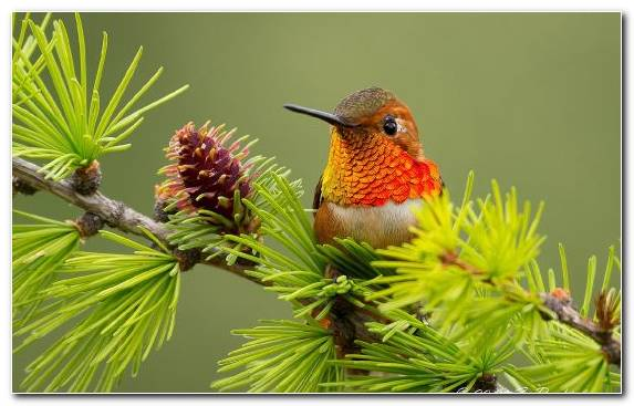 Image Evergreen Old World Flycatcher Hummingbird Bird Pollinator