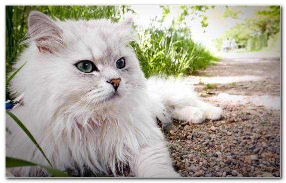 Image Exotic Shorthair Kitten Turkish Angora Himalayan Cat Asian Semi Longhair