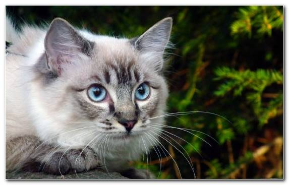 Image Eye American Shorthair Grasses Cat Breed Cat