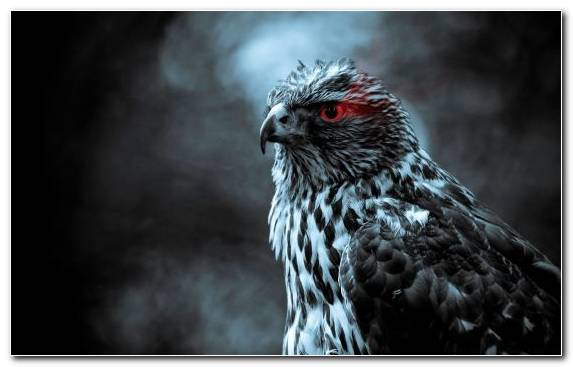 Image Eye Bird Of Prey Darkness Pierrot Bird