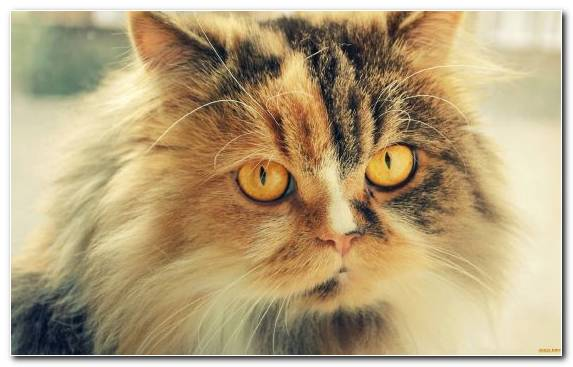 Image Eye Cat Persian Cat Nose Small To Medium Sized Cats