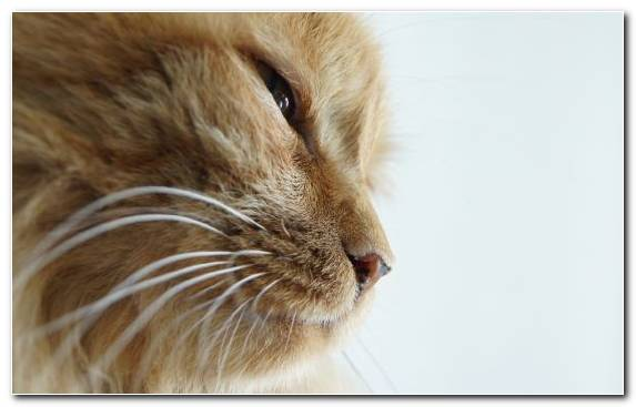 Image Eye Snout Fur Tabby Cat Small To Medium Sized Cats