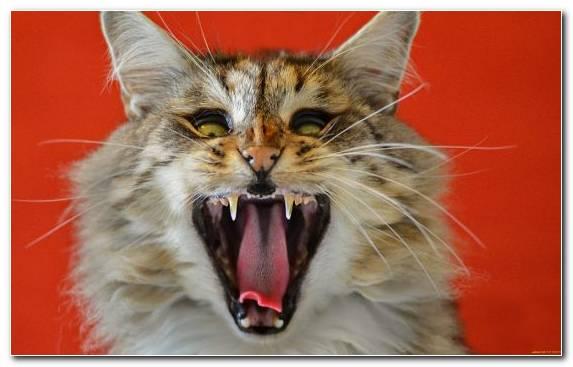 Image Facial Expression Moustache Wildcat Roar Cat