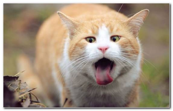 Image Facial Expression Wildcat Felidae Cat Whiskers