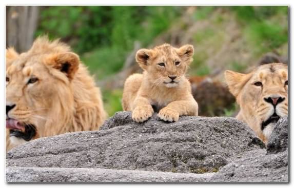 Image Family Lion Cubs Masai Lion Wildlife Big Cat