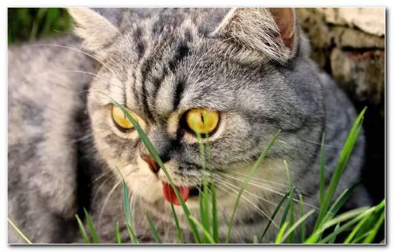 Image Fauna American Shorthair Tabby Cat Mammal Dragon Li