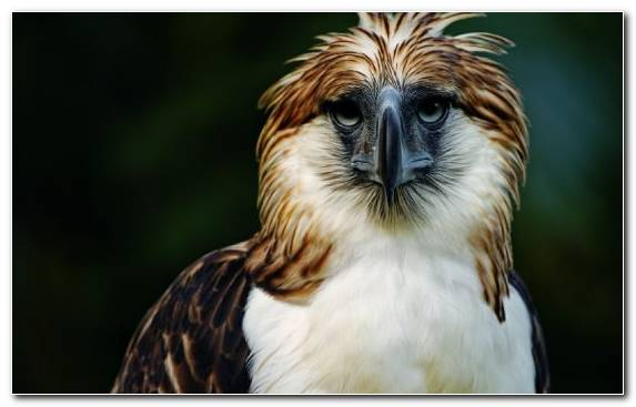 Image Fauna Bird Of Prey Philippine Eagle Hawk Wildlife