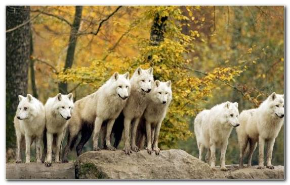 Image Fauna Canis Lupus Tundrarum Wildlife Herd Animal
