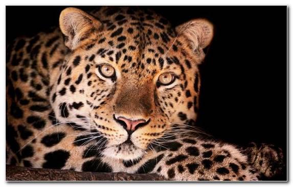 Image fauna cheetah wildlife jaguar leopard