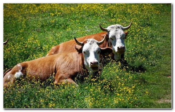 Image fauna dairy cattle horn grazing dairy cow