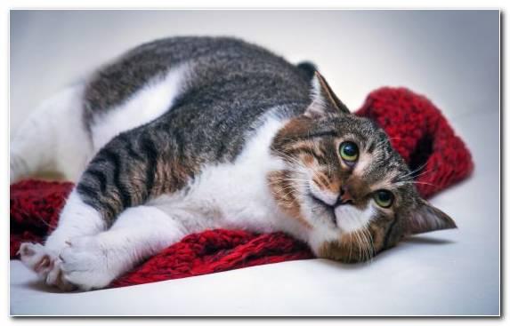 Image Fauna Fur Tabby Cat Aegean Cat Kitten