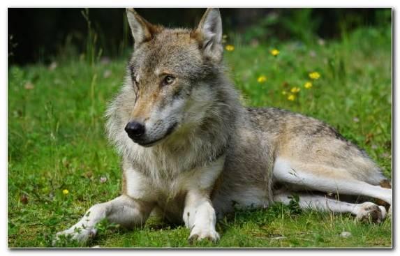 Image Fauna Jackal Coyote Wildlife