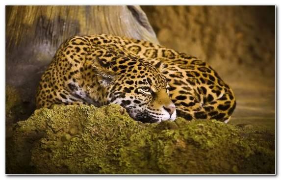 Image Fauna Mammal Jaguar Leopard Terrestrial Animal