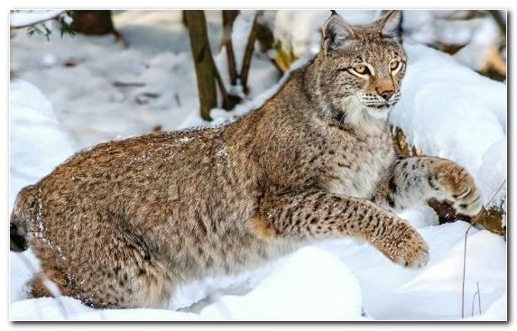 Image Fauna Mammal Snow Wildlife Bobcat