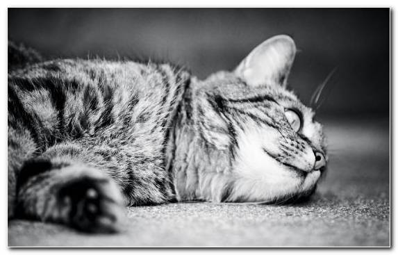 Image Fauna Mammal Tabby Cat Monochrome Photography Black And White