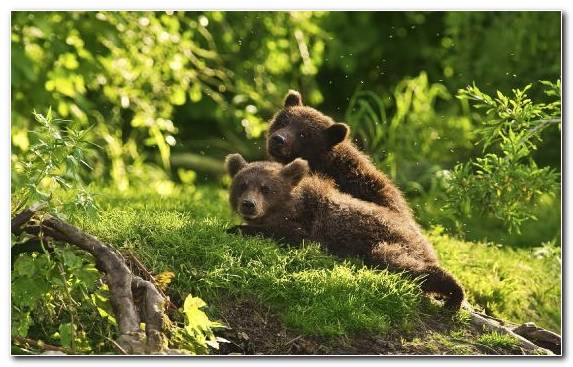Image Fauna Nature Reserve Mammal Brown Bear Forest Terrestrial Animal