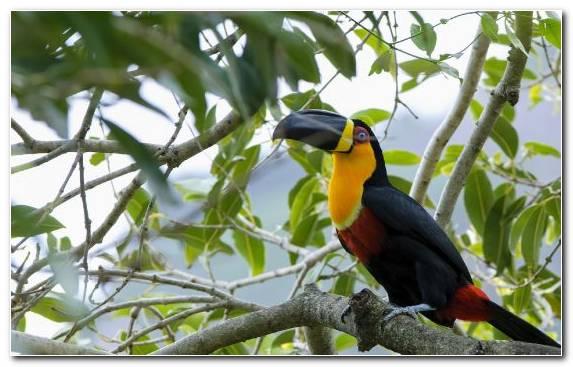 Image Fauna Piciformes Bird Toucan Toco Toucan